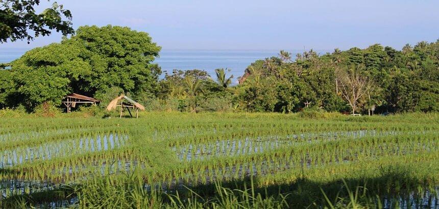 Bali_Reisfeld bei Canggu